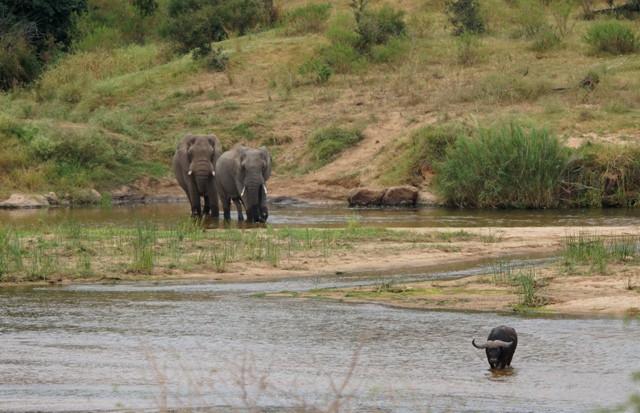 elephants and buffalo rs