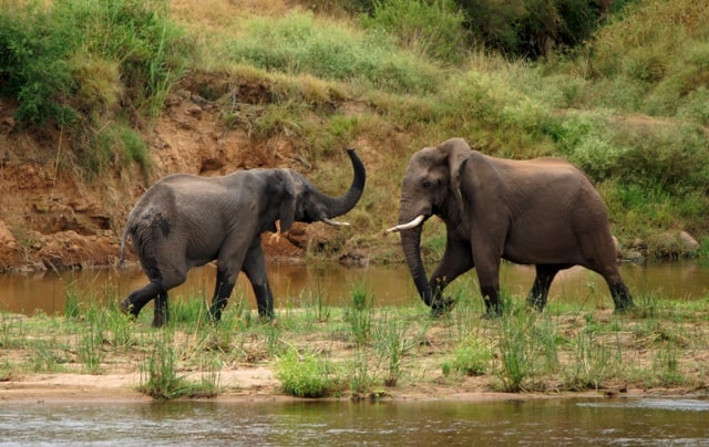 elephants fighting rs
