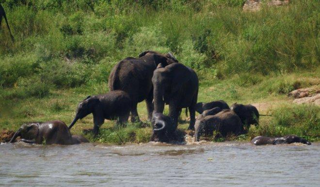 elephants swimming 1 rs