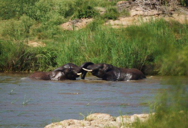 elephants swimming 4 rs