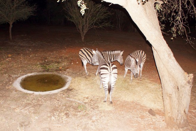 KRSC - Zebras Night